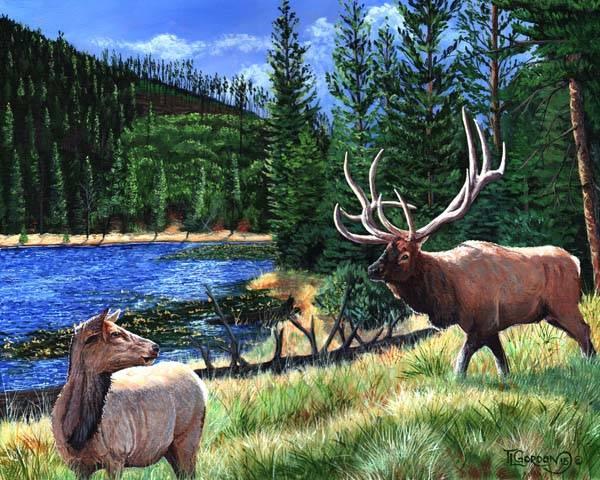 Elk at beaver Lake - Yellowstone