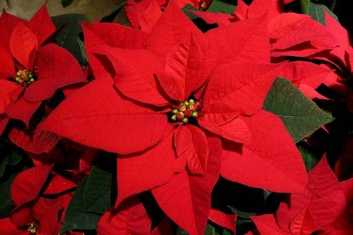 Annual Poinsettia Craft Fair